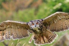 Eagle Owl, der niedrig fliegt Lizenzfreie Stockfotografie
