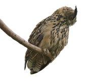 Eagle Owl in der Weißrückseite Stockfotografie