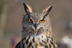 Eagle Owl An eagle owl portrait. Eagle Owl An eagle owl in wildlife on portrait Stock Photos