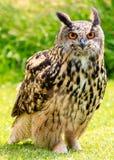 Eagle Owl en un campo Fotografía de archivo