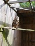 Eagle Owl en una perca Imagenes de archivo
