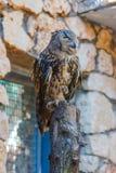Eagle Owl está sentando-se em um log Imagem de Stock Royalty Free