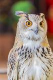 Eagle Owl (Eurasian eagle owl). Owl big eyes looked to the camera stock photography