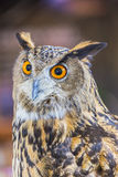 Eagle Owl (Eurasian eagle owl). Owl big eyes looked to the camera royalty free stock photography