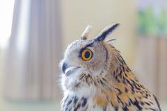 Eagle Owl (Eurasian eagle owl) Royalty Free Stock Photography