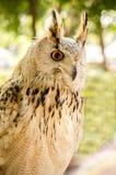 Eagle Owl ( Eurasian eagle-owl) Stock Photography