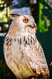 Eagle Owl ( Eurasian eagle-owl) Royalty Free Stock Photo