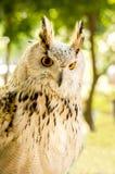 Eagle Owl ( Eurasian eagle-owl). Close up royalty free stock photo
