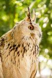 Eagle Owl ( Eurasian eagle-owl). Close up stock photo