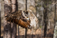 Eagle Owl. A Eurasian Eagle Owl in Flight Royalty Free Stock Images