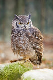 Eagle Owl. Eurasian Eagle-Owl on stone Royalty Free Stock Photography