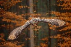 Eagle Owl euro-asi?tico, bub?o do bub?o, com asas abertas em voo, habitat da floresta no fundo, ?rvores alaranjadas do outono Cen fotografia de stock royalty free