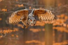 Eagle Owl euro-asi?tico, bub?o do bub?o, com asas abertas em voo, habitat da floresta no fundo, ?rvores alaranjadas do outono Cen foto de stock