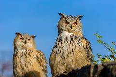 Eagle Owl euro-asiático (bubão do bubão) que senta-se no coto, close-up, foto dos animais selvagens imagens de stock royalty free