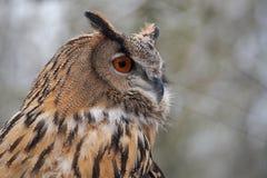 Eagle Owl euro-asi?tico, bub?o do bub?o em um parque natural alem?o foto de stock