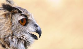 Eagle Owl. Euroasian eagle owl on a brown background stock images