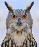 Eagle Owl. Stock Images