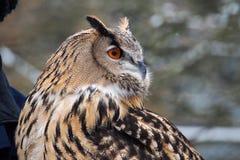 Eagle Owl euroasiatico, bubo del Bubo in un parco naturale tedesco fotografie stock libere da diritti