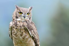 An eagle owl in front of a blue and grey bakcground. An eagle owl in Europe. Portrait with a blury background of the sky and the forest stock photo