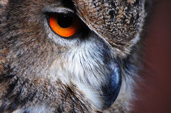 Eagle Owl Eye Royalty Free Stock Images