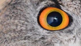 Eagle owl eye close up, eye of the Eurasian Eagle Owl, bubo bubo