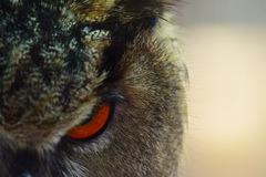 Eagle Owl Eye Closeup Stock Image