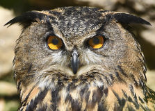 Eagle-owl eyes. Eagle-owl looking direct into the camera Stock Image