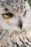 Eagle owl eyes Stock Images