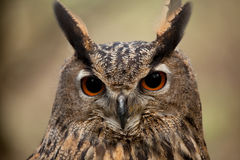 Eagle Owl Face Royalty Free Stock Photography