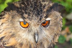 Eagle Owl Face Royalty Free Stock Photo