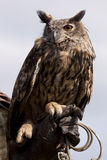Eagle owl of a falconer Stock Image