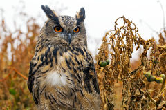 Eagle Owl in a field Stock Photo