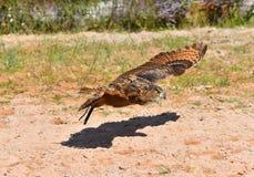 Eagle owl flies. In the sand stock photos