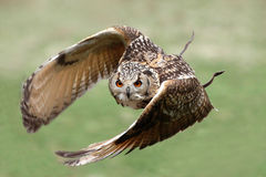 Eagle owl in flight