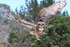 Eagle Owl in Flight. Spotted Eagle Owl raptor coming in to land Stock Photo