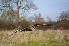 Eagle Owl Flight Royalty Free Stock Photo