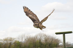 Eagle owl in flight. Captive European Eagle Owl in flight, coming in to the lure royalty free stock photo