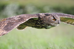 Eagle owl in flight Royalty Free Stock Photos