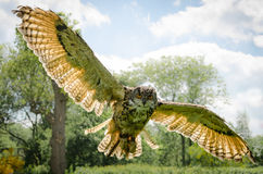 Eagle owl in flight. Close up, looking into camera, backlit Royalty Free Stock Photo