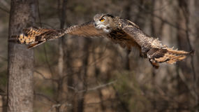 Eagle-owl in Flight Royalty Free Stock Photos