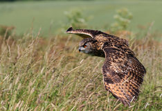 Eagle Owl in flight Stock Photography