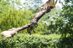 Eagle owl in flight. Eagle owl flying and looking towards camera Stock Images