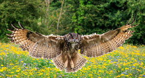 Eagle owl. In flight over a meadow stock image