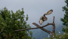 Eagle owl in flight, about to land on a tree, photographed in the Drakensberg mountains, South Africa. Eagle owl in flight, about to land on a tree, photographed royalty free stock photography