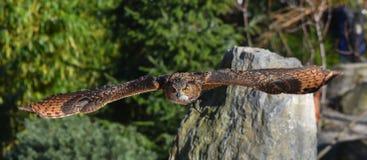 Eagle Owl flyg arkivbilder