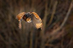 Eagle owl flying in forest. Flight Eagle owl with open wings in habitat with trees, bird fly. Action winter scene from nature, wil royalty free stock images