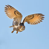 Eagle owl flying for a kill Stock Images
