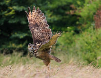 Eagle owl flying over a meadow Stock Image