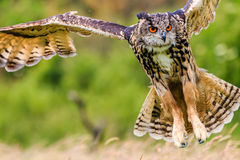Eagle owl flying over a meadow Royalty Free Stock Photos