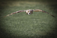 An Eagle Owl flying Royalty Free Stock Photo